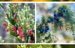 Можжевельник: интересные виды, особенности ухода и размножения