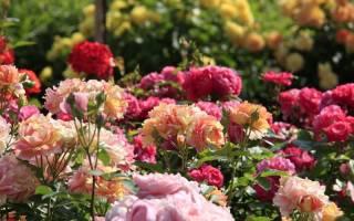 Какой сорт роз лучше сажать: самые красивые и неприхотливые сорта и нежелательные виды