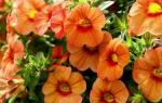 Петуния — разноцветная и многоликая: все о выращивании и размножении для декора ландшафта