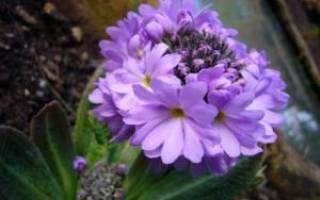 Примула: оптимальное выращивание и уход, виды и секции, способы размножения