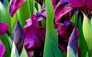 Когда пересаживать ирисы — пересадка на новое место летом (после цветения) и в другие сроки