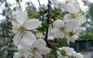 Вишня: сорта для разных регионов России, выращивание и уход