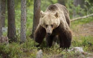 Медведь загрыз пенсионерку в Канаде