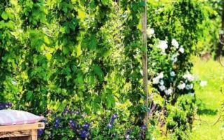 Вьющиеся растения для украшения сада