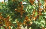Уход за абрикосом после сбора урожая