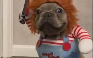 Бульдога на Хэллоуин нарядили куклой Чаки