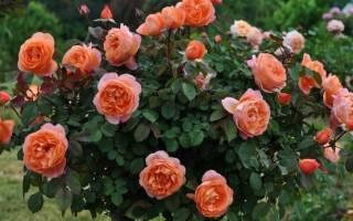 Подкормка роз летом — чем подкормить в июне, июле и августе для роста и обильного цветения