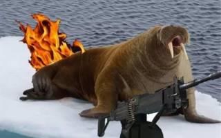 Российская экспедиция пострадала от моржихи