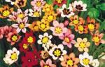 Спараксис: посадка, выращивание, размножение, зимовка привередливого экзота
