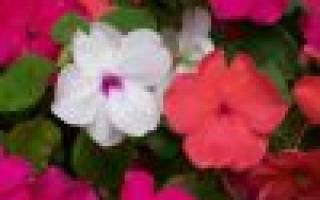 Бальзамин: выращивание, уход, размножение семенами и черенкованием