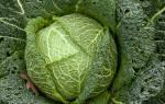 Савойская капуста: описание растения, польза и вред, фото, отзывы