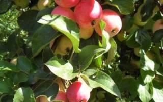 Как правильно ухаживать за яблоней, чтобы получить богатый урожай