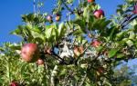 Прививка плодовых деревьев: инструкция