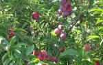 Слива Маньчжурская красавица: описание и характеристика сорта, достоинства и недостатки, особенности посадки и ухода + фото и отзывы