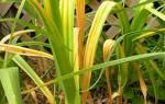 Почему желтеют листья у чеснока, что делать, чем полить и подкормить, фото, видео