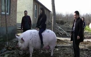 В Китае свинью раскормили до 500 кг