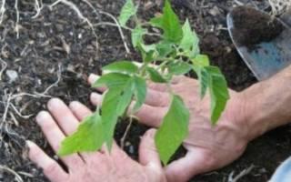 Как вырастить вкусные помидоры: правильный уход
