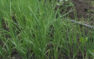 Репчатый лук: посадка, выращивание, хранение