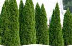 Живая изгородь на участке: как выбрать растения и сделать своими руками