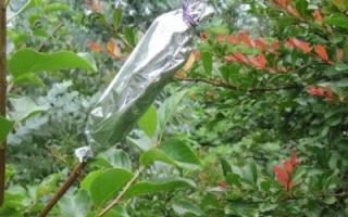 Размножение плодовых деревьев воздушными отводками
