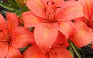 Посадка лилий осенью – когда и как посадить в открытый грунт
