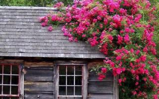 Вьющиеся растения для сада: плетущиеся многолетники и однолетки