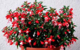 Фуксия – выращивание и уход в домашних условиях с фото