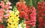 Львиный зев — выращивание из семян: когда сажать и каким способом, популярные сорта растения