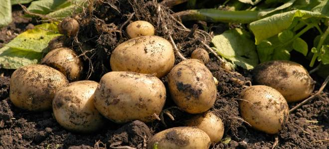 Удобрение для картофеля при посадке в лунку и для почвы в целом — какие вносить