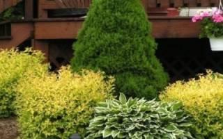 Хвойные растения, которые лучше всего подходят для сада