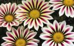 Гацания — выращивание из семян: когда сажать и какой способ лучше в домашних условиях, популярные сорта