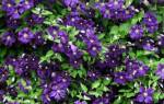 Чем подкормить клематисы — подкормки для роста и обильного цветения