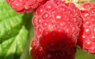 Как подготовить ягодные кусты к зиме: обрезка малины, уход за крыжовником + видео
