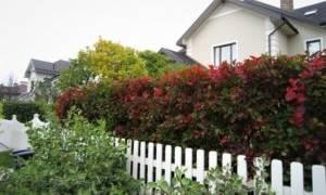 Растения для живой многолетней быстрорастущей изгородь: выбор и уход