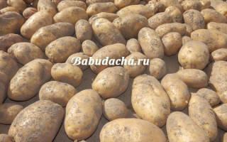 Сорта картофеля для Сибири и Урала: фото и описание, подборка лучших