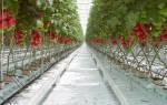 Как вырастить помидоры зимой в теплице