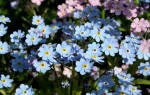 Выращивание незабудок из семян (садовой, альпийской, помпадур и пр) + фото