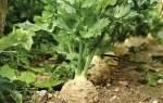 Выращивание сельдерея на даче, правильный уход