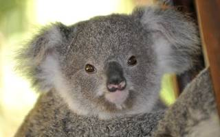 В Австралии коале наложили гипс на лапу