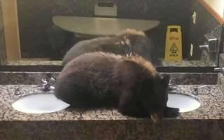 В Америке медведь уснул у раковины в женском туалете