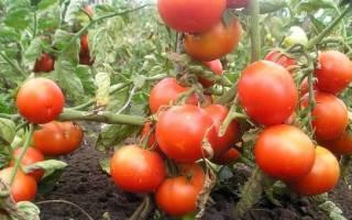 Сорта помидоров, устойчивые к фитофторе