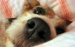Собака с длинным языком лежит на диване видео