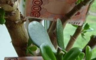 Как ухаживать за толстянкой, чтобы привлечь деньги в дом