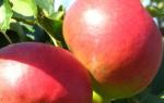 Описание сорта яблони Жигулевское — особенности, правила посадки и ухода, сбор урожая + фото