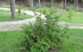 Туевик: декоративные формы, выращивание и размножение