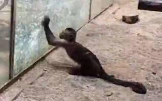 В Китае обезьяна залезла в комнату студентки и съела её зефир