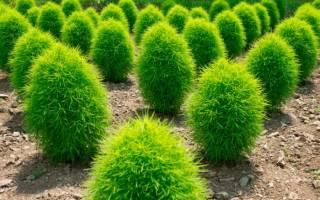 Кохия: выращивание из семян, уход, стрижка, использование