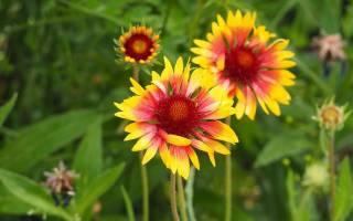 Гайлардия: виды и сорта с фото, выращивание, размножение