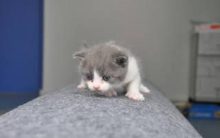 В Китае успешно клонировали кошку