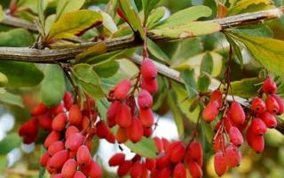 Выращивание барбариса: правильный уход, посадка, черенкование